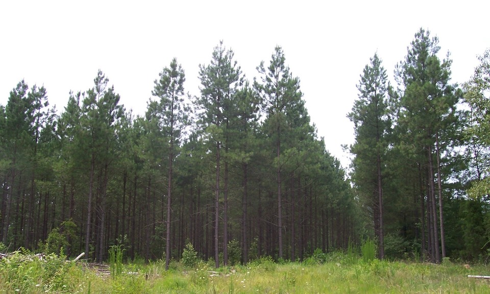 15 yr old pine plantation after 1yr old 1st thinning